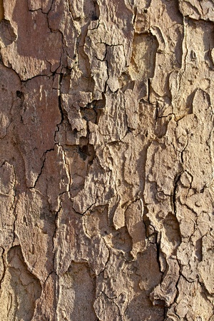Fragmental plane tree bark suitable as wooden background photo