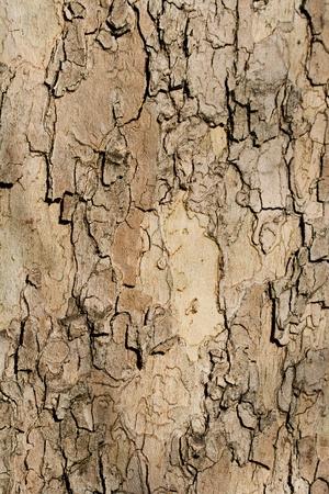 sicomoro: Textured albero corteccia aereo adatto per lo sfondo