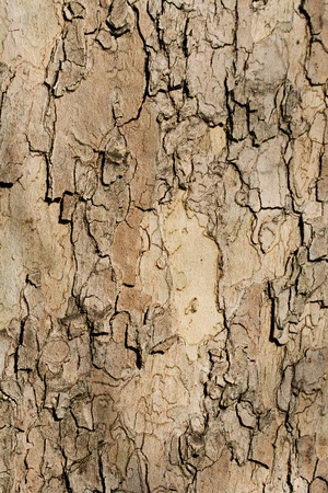 Textured Plane tree bark suitable for background Stock Photo