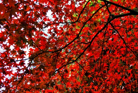 Tree top background consisting from leaves and branches of red maple photo
