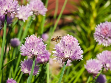Colorful and fresh chives with pollinating bee in spring sunlight photo