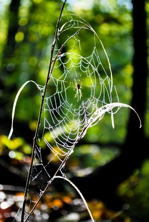Morning in the woods with spiders web sprinkled with dew on a beautiful green background photo