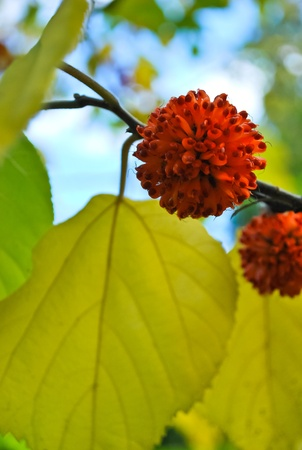 Asian deciduous tree with beautiful red rounded flowers photo