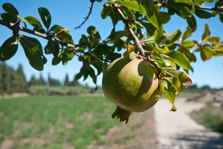 Lush green pomegranate hanging on a twigs and the background consists of blue sky and farm land