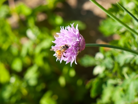 Honeybee on chives flower with natural background photo