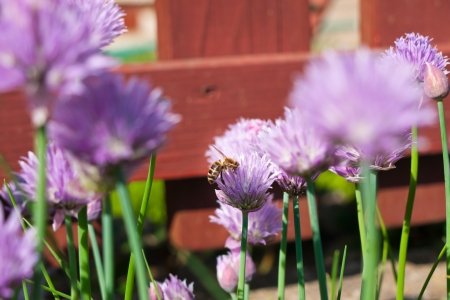 Bee flying among the chive flowers in the garden photo