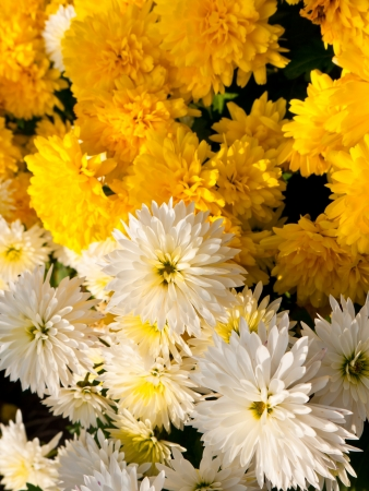 Close-up of beautiful white and yellow chrysanthemums Stock Photo