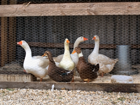 Group of goose and ducks in the yard photo