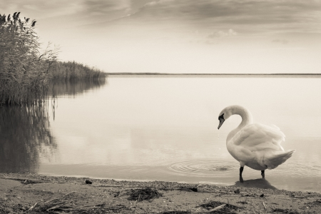 Swan goes into the calm waters of reed lake photo