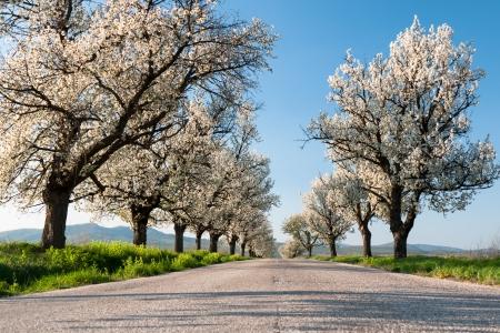 Asphalt-Straße mit blühenden Kirschbäumen gesäumt