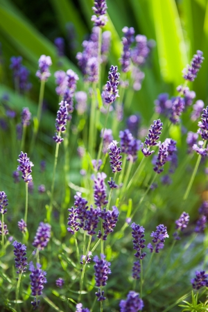 frontage: Closeup of lavender flowers in the frontage garden Stock Photo