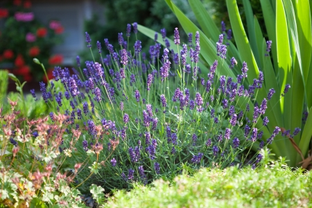 Home garden with freshly flowering lavender flower photo