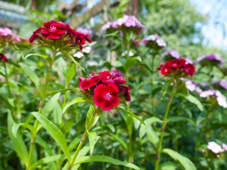 Close up view of small purple turkish carnation flowers in garden photo