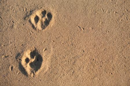 Zwei Pfotenabdrücke im Sand Oberfläche