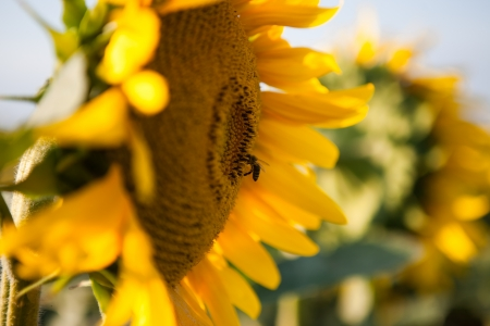 Close up of yellow sun flower and pollinating bee