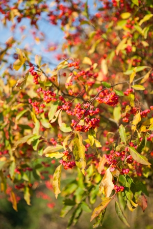 Beautiful autumn Close up view on Euonymus europaeus tree