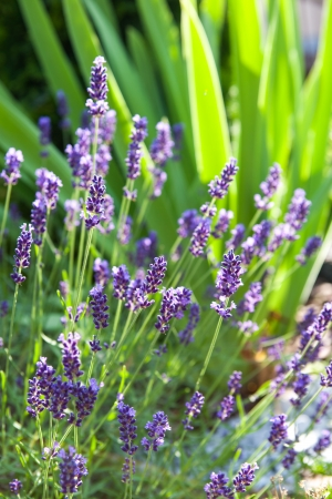 Closeup of tiny purple flowers of lavender in the morning rays photo