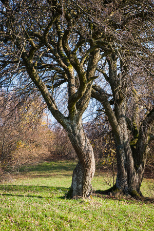 Leafless autumn trees standing on a meadow photo