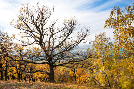 Dominant oak tree towers over the autumn landscape photo