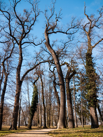 Bottom view of the massive beech trees in autumn park photo