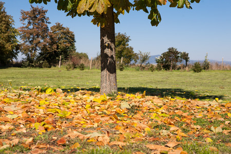 Autumn leaves under the horse chestnut tree photo