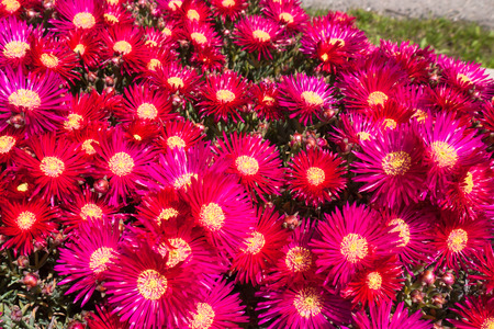Blooming perennial plant in the sunny garden