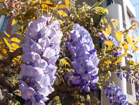 Fabaceae: Beautiful flowering wisteria in front of the house facade Stock Photo
