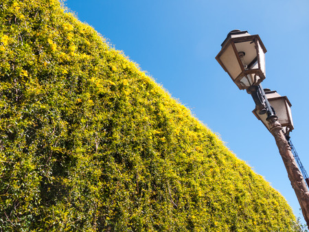 trimmed: Yellow flowering hedge and street lamp on blue sky background