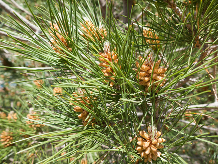 pinaceae: Close view of tiny pine cones on a branch