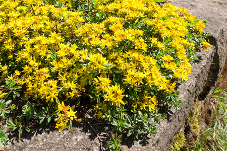 groundcover: Early spring yellow flowering groundcover plant Stonecrop Stock Photo