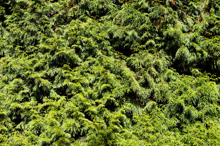 thuja occidentalis: Close up from green branches of coniferous thuja tree