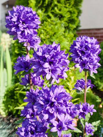 bellflower: Beautiful Clustered bellflower in daylight on a garden background Stock Photo
