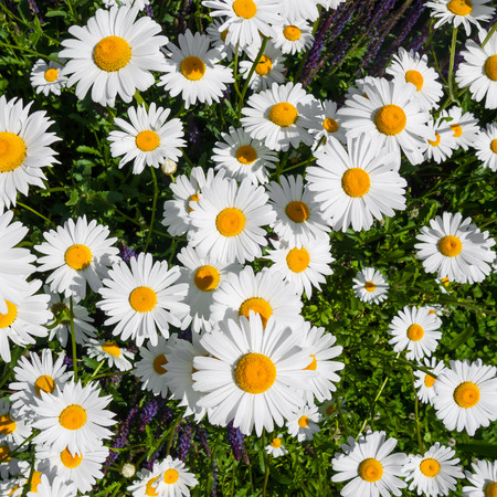 daisy: Spring meadow with blooming oxeye daisy flowers