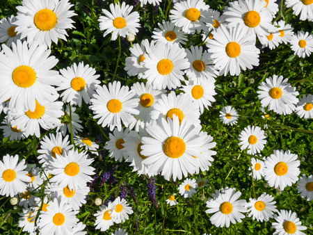 oxeye: Top view of a white oxeye daisy flowers in the sunlight