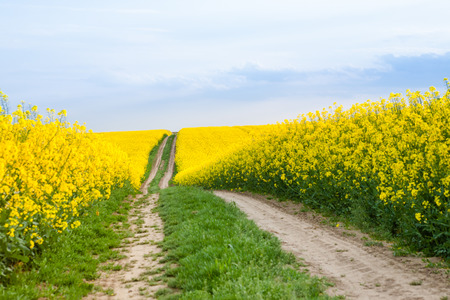 plant growth: Road through farmland with yellow oilseed rape field and cloudy sky Stock Photo