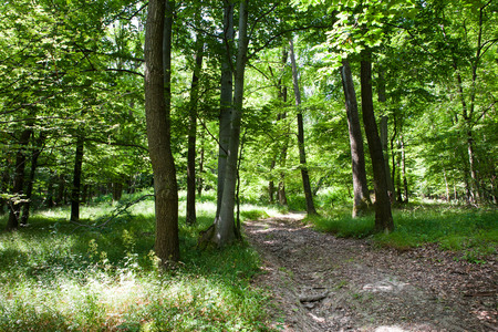 hiking path: Lush green deciduous forest with hiking path through the trees
