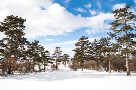 Beautiful tall pine trees in snowy landscapes 스톡 사진