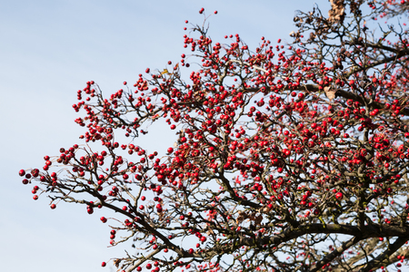 laevigata: Lush red hawthorn berries on leafless branches and natural background