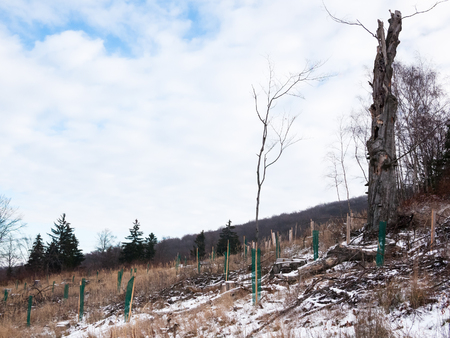 restitution: Young trees planted in the forest with plastic tree guards Stock Photo