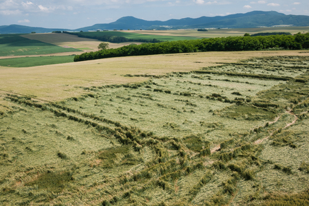 unripened: Agricultural land with unripened wheat destroyed by storm Stock Photo