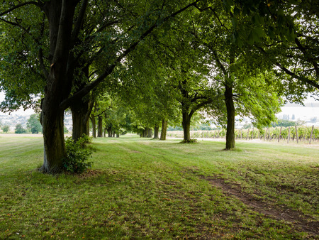 tilo: Footpath running through beautiful linden tree alley