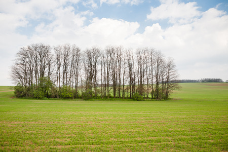 Group of acacia trees on a field in spring