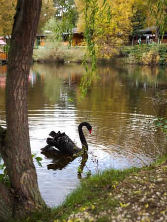 Schwarzer Schwan, der auf einem See unter Weidenbaum mit Reflexion im Wasser schwimmt
