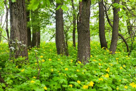 Blühende größere Celadine-Blüten unter Bäumen in einem grünen Wald Lizenzfreie Bilder