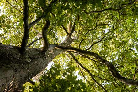Blick auf die Baumspitze einer riesigen Platane im Frühling