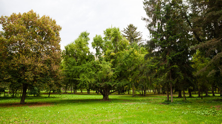 Majestätischer Ginkgobaum mit breiter Baumkrone im Zentrum eines Naturparks Lizenzfreie Bilder