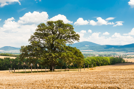 Majestic 300 year old oak tree with wide tree-top in the center of farmland Stock Photo