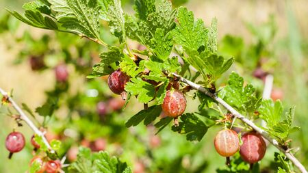 Fresh and ripe red gooseberries growing in the garden