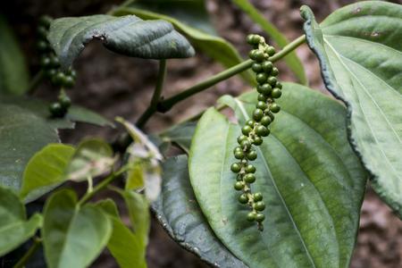Unripe drupes of Black Pepper, Green Pepper plantation in coorg, Karnataka, India Stock Photo