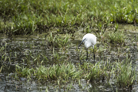 The little egret (Egretta garzetta) small heron fishing in water in Kampala, Uganda, Africa Stock Photo